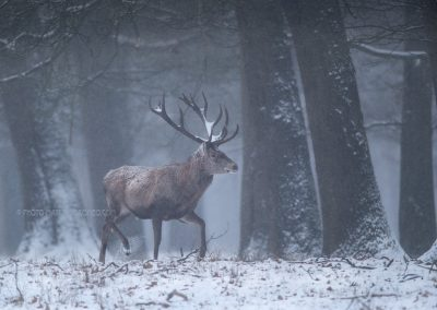 Red Deer stag moving through the snowy forest…