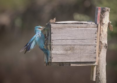 European Roller brings a fresh grasshopper for the young ones in the nest box