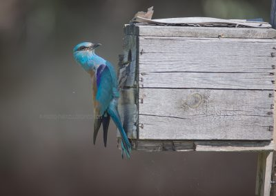 European Roller hanging on a nest box just after feeding the young ones