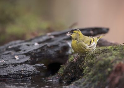 Siskin drinking water from the pool