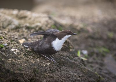 White-throated Dipper moving his wings