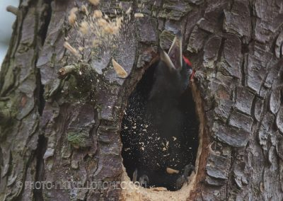 Black Woodpecker throws out the sawdust he just cut-out