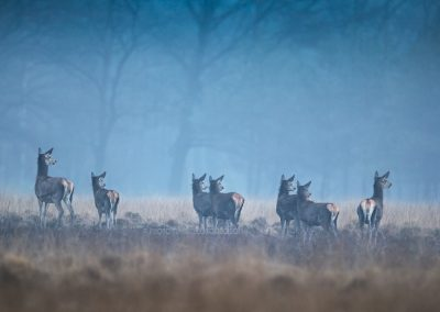 A rut of Red Deer hinds are looking back to check if the situation is safe…