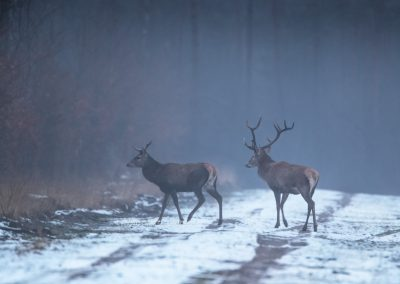 Two Red Deer crossing the snowy path in the last daylight…