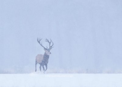 Red Deer Stag running through the snow