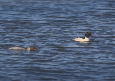 A pair of Common Mergansers, the female on the left is ready for mating, the male on the right is not in for it…