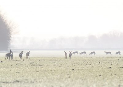 Group of Roe deer walking and foraging on the foggy, frozen meadows…