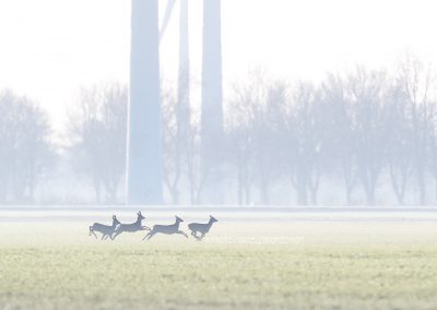 Group of Roe Deer running…