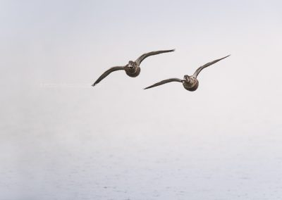 Two Northern shovelers in flight