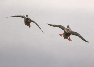 Northern Shovelers start their landing procedure…