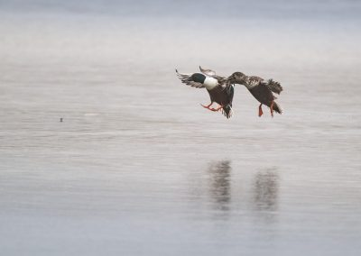 Pair of Northern Shovelers are about to land…