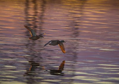 Pair of Mallards in flight while the first sunbeams do colour the water…