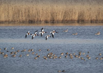 A group of Shelducks flying over a large group just returned  sleeping Black-tailed Godwits