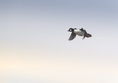 Common Goldeneye flying over…