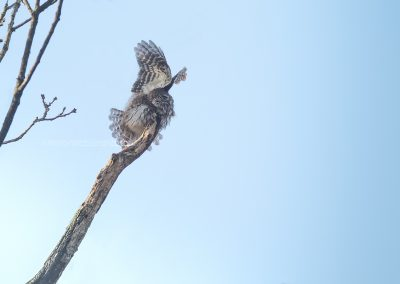 Eurasian Pygmy Owl about to fly of from a branch