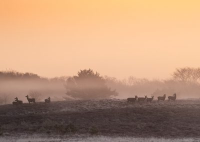 Flock of Red Deer hinds at the first daylight which colours the air orange