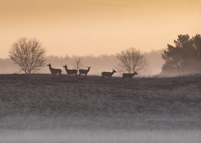 Group of Red Deer Hinds in backlight early in the cold foggy morning at the first daylight…