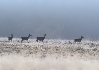 Group of Red Deer Hinds walking through the with hoarfrost covered landscape at the beginning of the day