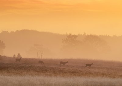 Red Deer Hinds moving slowly through the hoarfrosted heather in the glow of the upcoming sun…