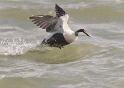 Male Common Eider flies up from the sea…
