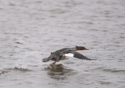 Female Common Merganser starts to fly off…