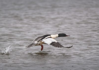 Male Common Merganser starts to fly up…