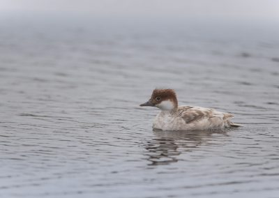 Female Smew before diving