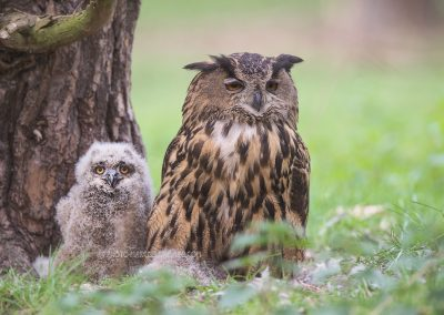 Female Eurasian Eagle-Owl sitting on the nest with the young ones besides her