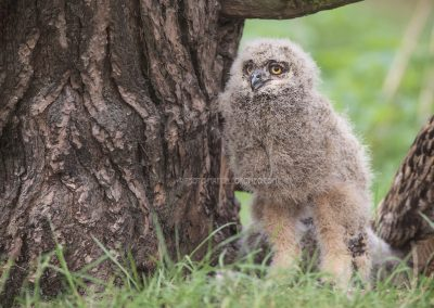 Eurasian Eagle-Owl chick standing right up from the nest…