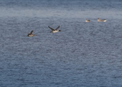Couple Northern Pintails in flight
