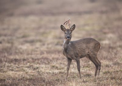 Roe Deer buck with the skin of his antlers swept off