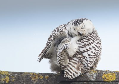 Snowy Owl scratching herself, sitting on the edge of the roof of a house