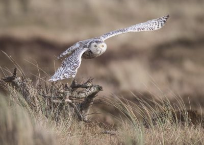 Snowy Owl flies up