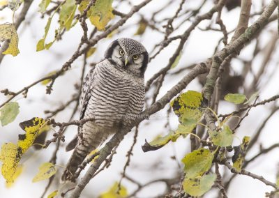 Northern Hawk-Owl, very rarely seen in the Netherlands…