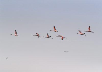 Chilean flamingo's in flight