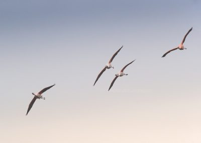 Couple of Chilean Flamingo's are loosing hight to land