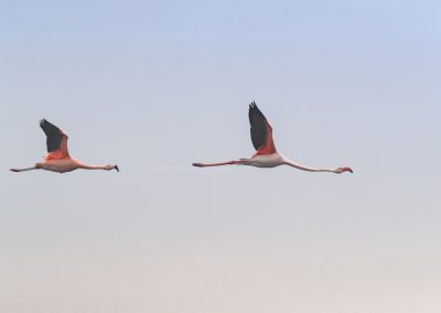 Two different Flamingo's flying bye: Behind a Chilean Flamingo and in front Greater Flamingo
