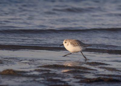 Sanderling running at the coastline…