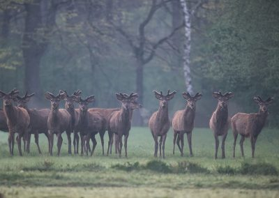 A rut of Red Deer Stags look up during foraging in a meadow they jumped in…