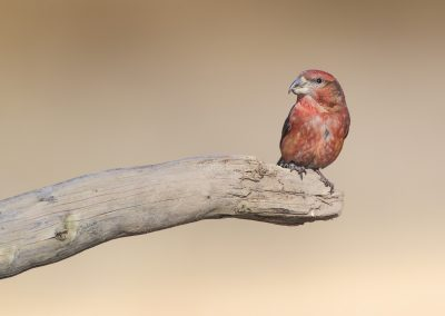 Male Parrot Crossbill sitting on a branch
