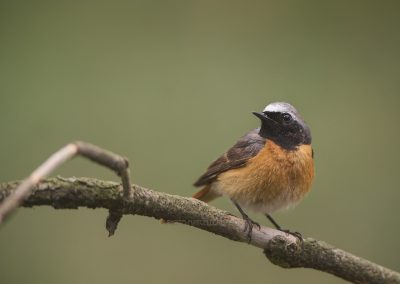 Male Common Redstart poses for a split second on a branch