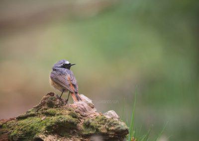 Common Redstart looks backcommon redstart;