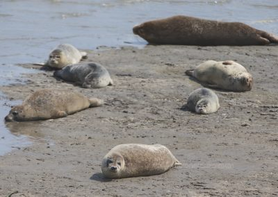 Harbour Seals (Common Seals) resting on the beach
