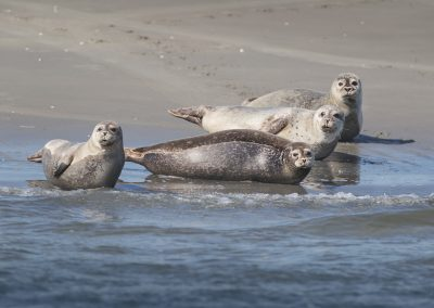 Resting Harbor Seals do lookup curious