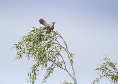 Common Cuckoo on the top of a tree