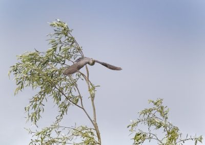 Common Cuckoo flies out of a tree