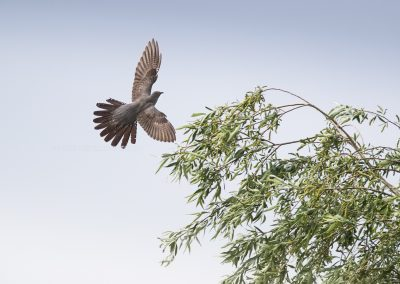 Cuckoo about to land in the top of a tree