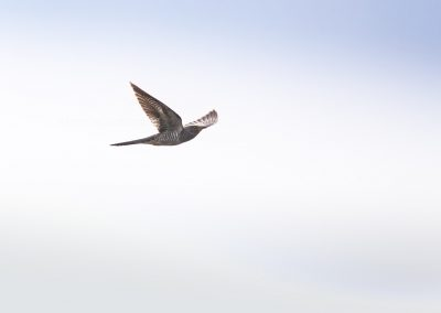 Common Cuckoo in flight