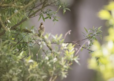 Common Nightingale sings his song…