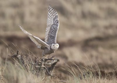 Snowy Owl flies up…